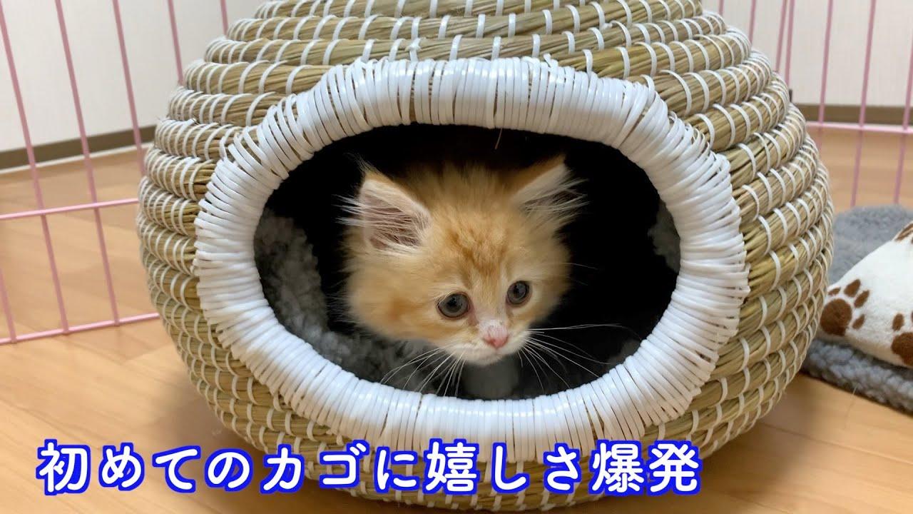 生まれて初めてのカゴに嬉しさ爆発の子猫【マンチカン】