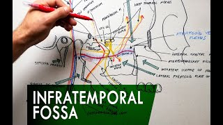 The Infratemporal Fossa -  Boundaries & Contents | Anatomy Tutorial