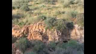 Lion and Javelina Surprise
