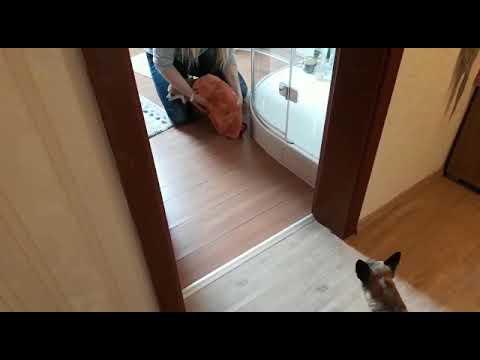 Chihuahua nach dem Duschen