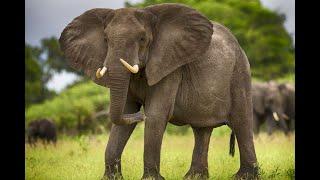 Голоса и звуки животных Африки. Как говорят животные. Обучающее видео для детей. Карточки Домана.