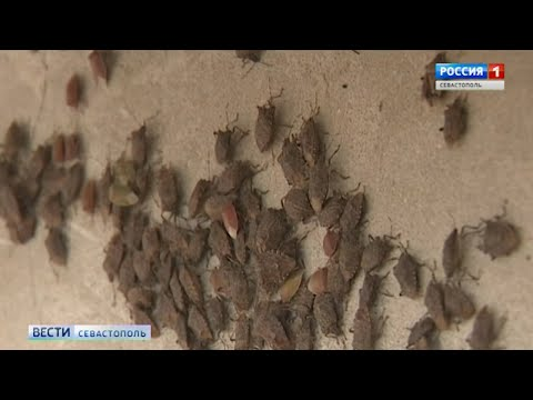 Клоп-вонючка атакует Севастополь
