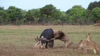 Battle of the Big Five – how many lions does it take to bring down a buffalo?