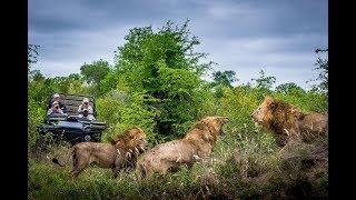 Драка африканских львов