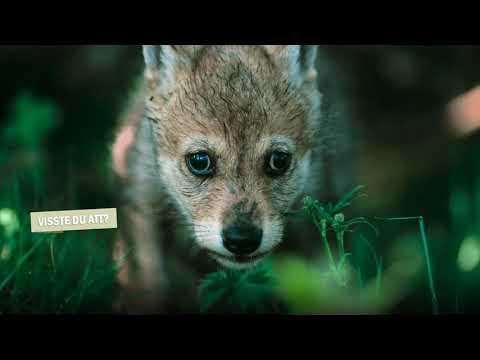 En kort film om vargen