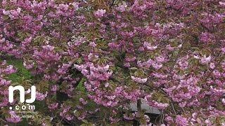 An explosion of spring color at N.J. arboretum