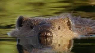 Beaver Lodge Construction Squad | Attenborough | BBC Earth