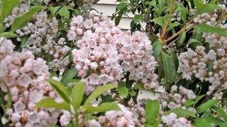 Mountain Laurel - More Than a Rhododendron - Kalmia latifolia