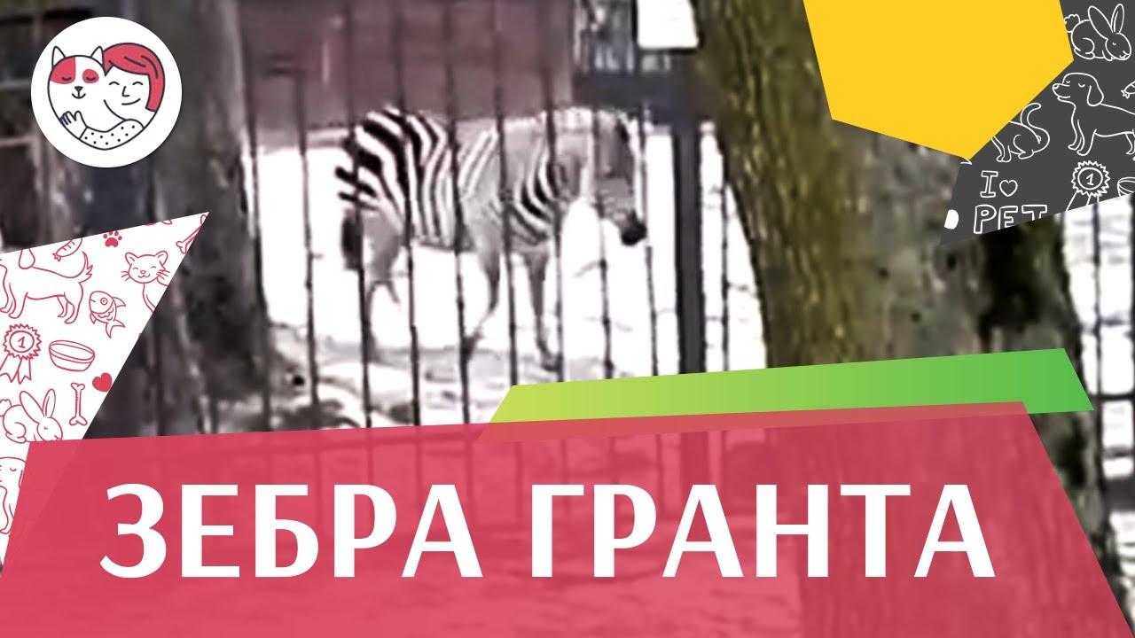 Зебра Гранта Образ жизни на ilikepet