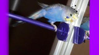 Почему у меня попугай девочка Кеша?!💙🤓