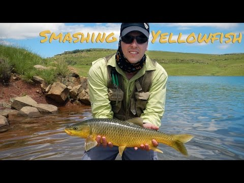 Smashing Yellowfish!