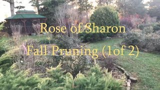 Rose Of Sharon Fall Pruning (1 Of 2) Tim Arnzen
