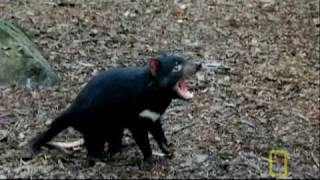 Bite of the Tasmanian Devil | National Geographic