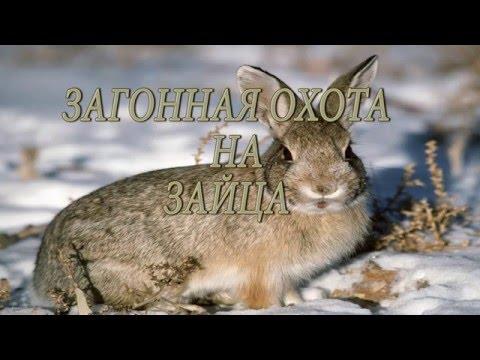 ЗАГОННАЯ ОХОТА НА ЗАЙЦА.   Driven hunt for hares.