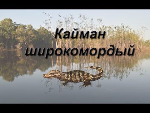 Русская Рыбалка 3.99 Кайман широкомордый
