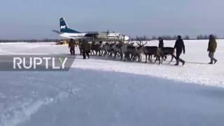 Russia: Is Santa on strike? Reindeers board flight to herders congress