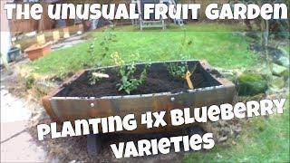Planting Blueberry Varieties In Whiskey Barrel Planters: Pink Lemonade, Aurora, Draper, Bluecrop