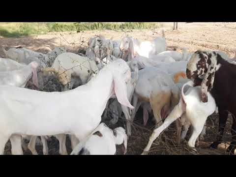 Rajan Puri ek number bakra pure white Mashallah bahut Pyara