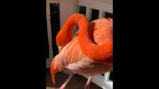 Flamingo Friday 4-23-21
