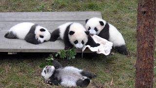 Giant Panda Breeding Center, Chengdu, China In 4K (Ultra HD)