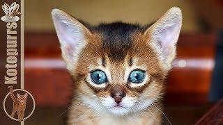 Маленький абиссинский котенок играет с мамой [kotopurrs]