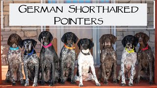 6 Reasons To Love German Shorthaired Pointers