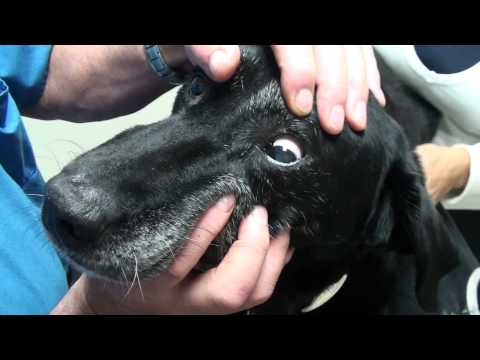 Video Old Dog Vestibular Syndrome Commonly Referred to as a Stroke