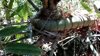 Bambu Antik