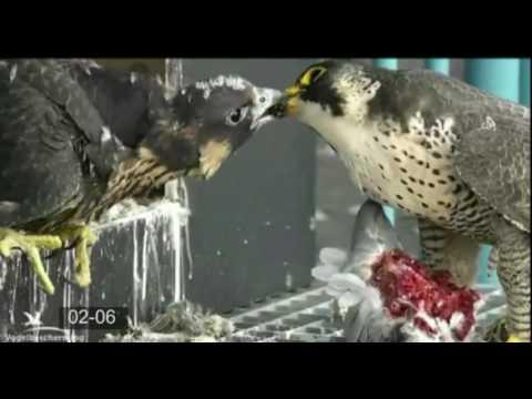 Peregrine Falcon Summary - Part 2
