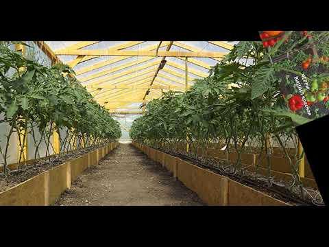 Схема посадки томатов в теплице, пытаемся расположить максимальное количество томатов