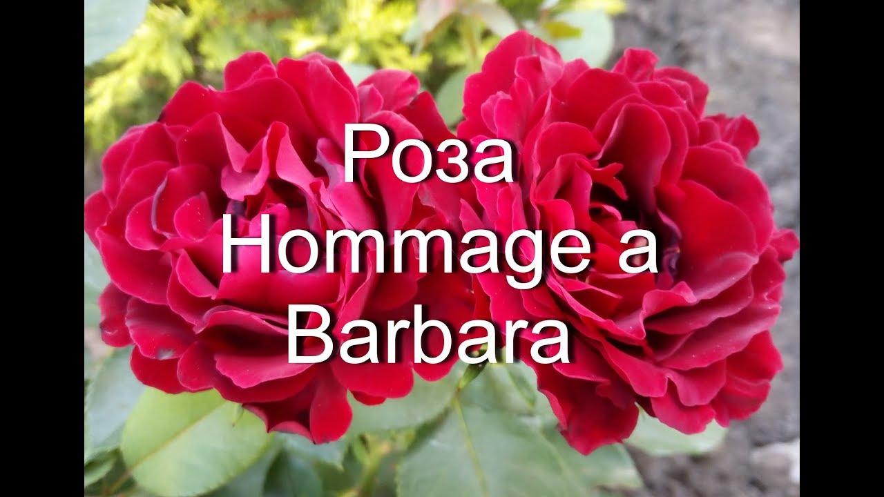 Розы в окошке. Hommage a Barbara, шикарное цветение, ароматная цветущая хоста подорожниковая.