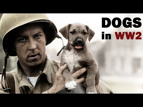 Military Working Dogs in World War 2 | US Army Dog Training Film | 1943