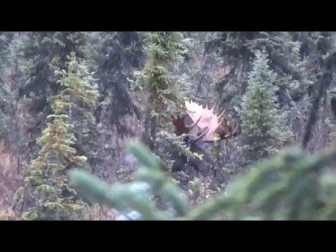 Zářijový lov losa