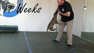 Puppy Training - 11 week old German Shepherd Puppy Training - Bite Training