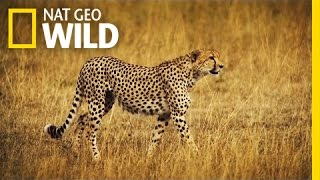 A Cheetah Takes Down a Wildebeest | Deadly Game