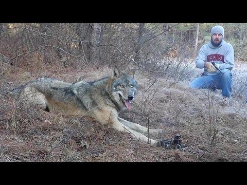 Спасение волка, угодившего в капкан
