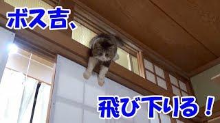 ボス猫のグレートな下り方 The great way Boss Cat goes down | Kholo.pk