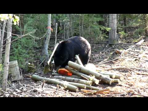 Black Bear at Wide North Outfitters bait site, Alberta, Canada