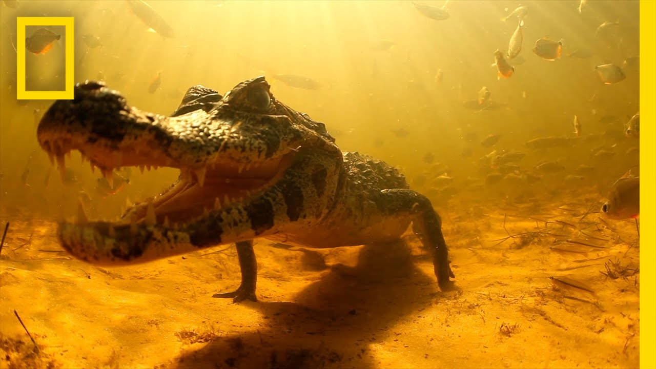 Swimming with Brazil's Caimans | National Geographic thumbnail