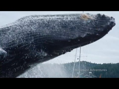 Download Incredible Video Show Humpback Whale Breaching Near Kayakers HD Mp4 3GP Video and MP3