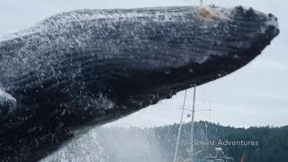 Incredible Video Show Humpback Whale Breaching Near Kayakers