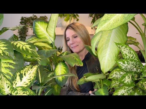 , title : 'Dieffenbachia Plant Care 101 |  Dieffenbachia