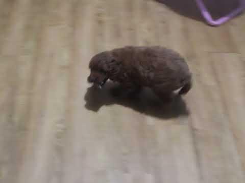 Kayden goldendoodle video