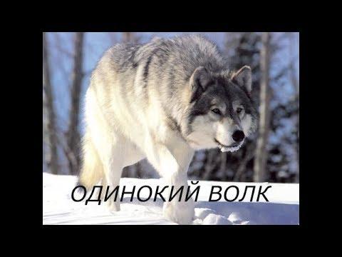 Одинокий волк... .