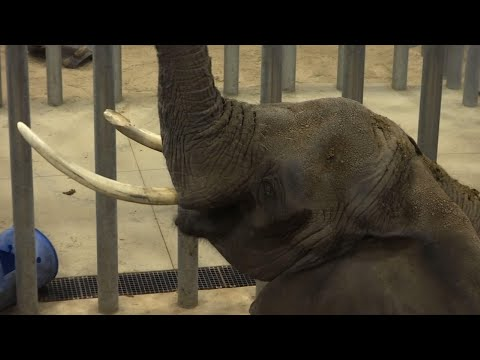 Elephants were once a mainstay in U.S. zoos but the opportunities to see them in accredited facilities are dwindling (July 26)