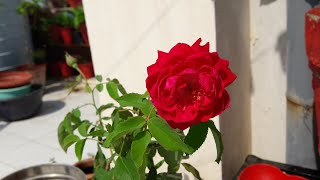 How To Prune Rose Plant || Best Time to Prune your Roses