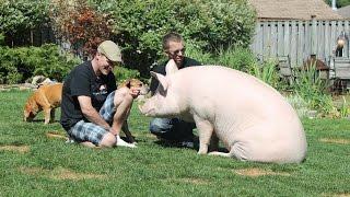 Nuôi lợn khổng lồ 300 kg làm thú cưng