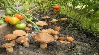 Где достать настоящую грибницу белых грибов,для своего участка