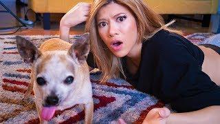 I DNA Tested My Mutant Chihuahua