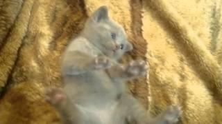 male cat peeing blood